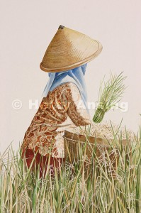 Gathering the rice